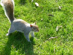 One of many friendly Grey Squirrels that call Jephson Gardens home